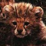 Est-ce un guépard ?