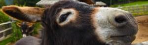 Zèbre ou Mule?