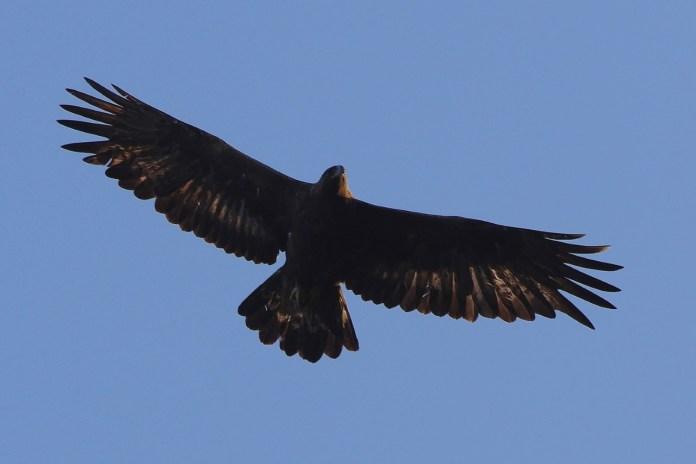 la-saison-de-reproduction-des-aigles-royaux-reprend