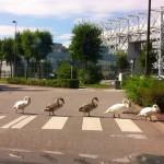 Les Beatles sont passés par Metz, c'est un cygne…