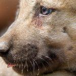 Cinq petits louveteaux trop mignon viennent de naître au Parc de Sainte-Croix
