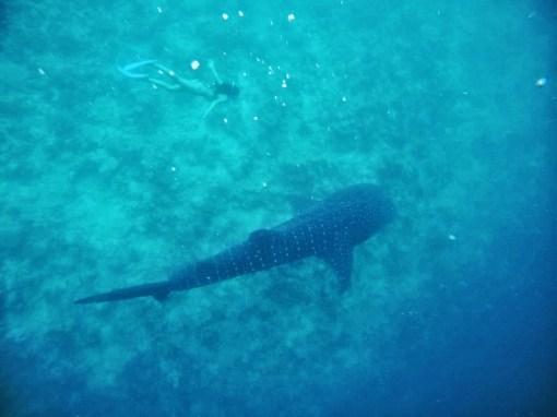 Un requin baleine au LUX South Ari Atoll