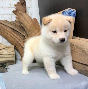 chiot shiba inu blanc bébé