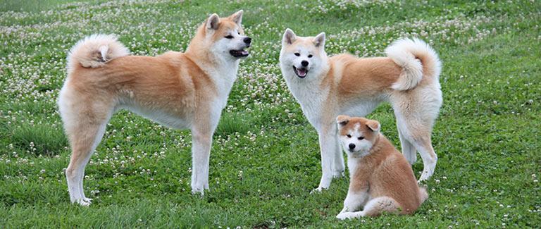 famille akita inu