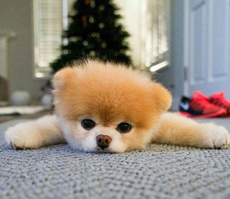 En hommage à Boo, Top 10 des chiens les plus mignons d'Instagram