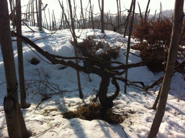 Maggiorina vineyards in Piedmonte