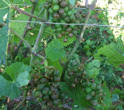 Nicolas Rossignol hail-burst grapes - La Grele - Lea and Sandeman