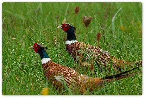 Two Pheasants Game Season