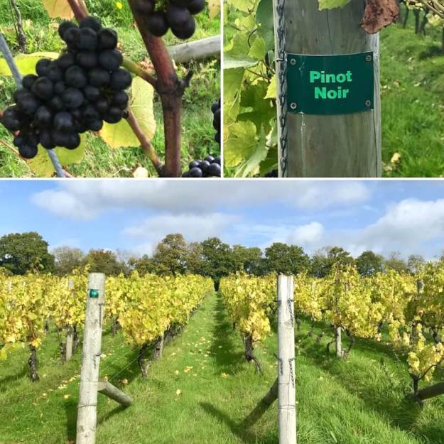 Grapes Pinot Noir Vines Nyetimber