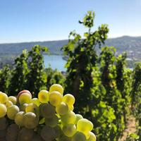 Viognier vineyard
