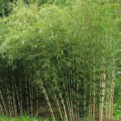 bambou fargesia campbell bambou fargesia robusta campbell