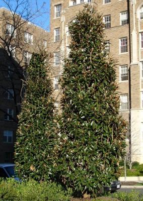 magnolia persistant alta magnolia grandiflora alta