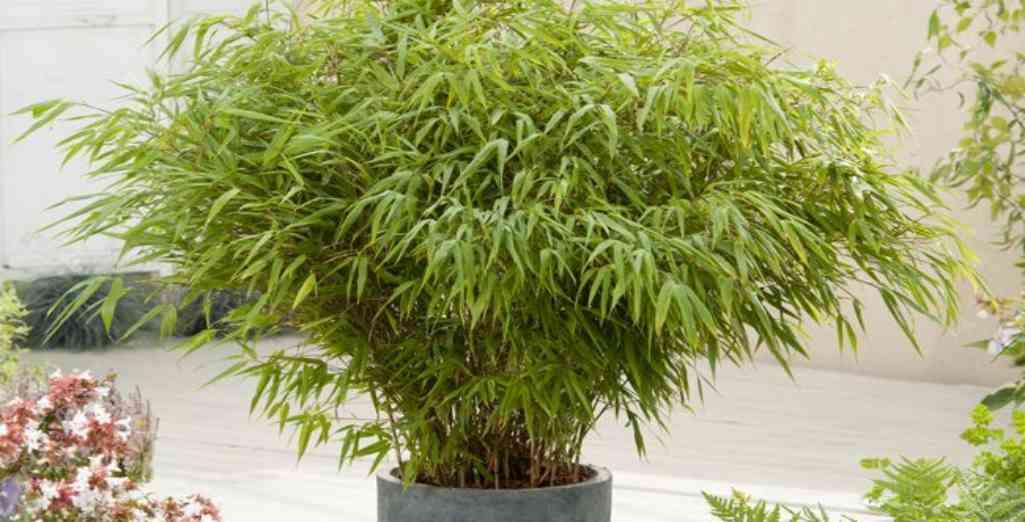 entretien des bambous en pots