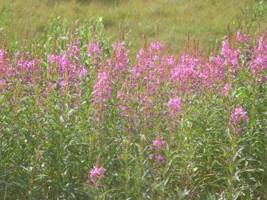 Follows blooming bring new life to the Alaskan tundra during the summer of 2015.