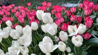 Spring Tulips, Rockefeller Center, New York, April 2016
