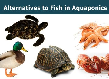Alternatives to fish in Aquaponics