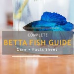 Betta fish complete guide