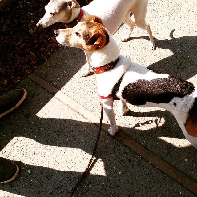 Doggie blind date! Flash meets Stella.