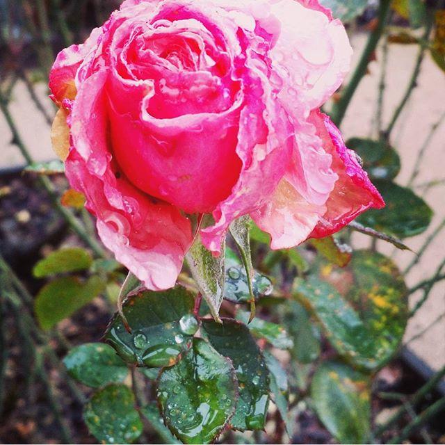 Rainy day bloom.