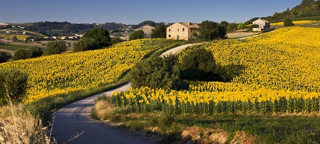Tuscan Sunflowers and Teachable Moments