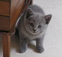 Chaton Gris Donner
