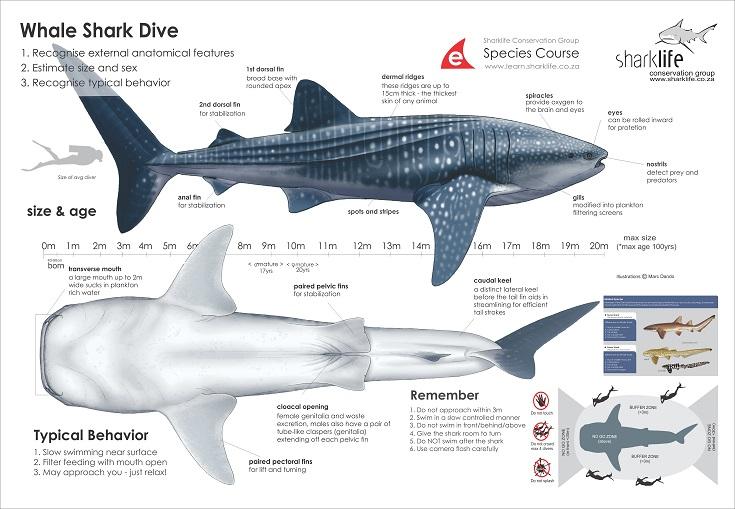 Great White Shark Anatomy Diagram