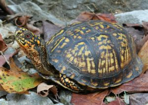 Eastern Box Turtle photo by Tim Spuckler
