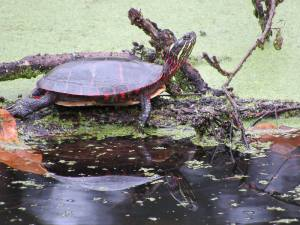Midland Painted Turtle photo by Tim Spuckler