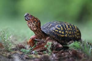 Eastern Box Turtle photo by Bob Ferguson