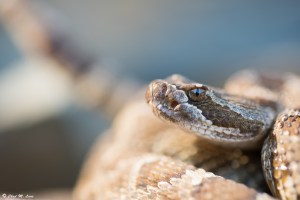 Northern Pacific Rattlesnake photo by Chad M. Lane
