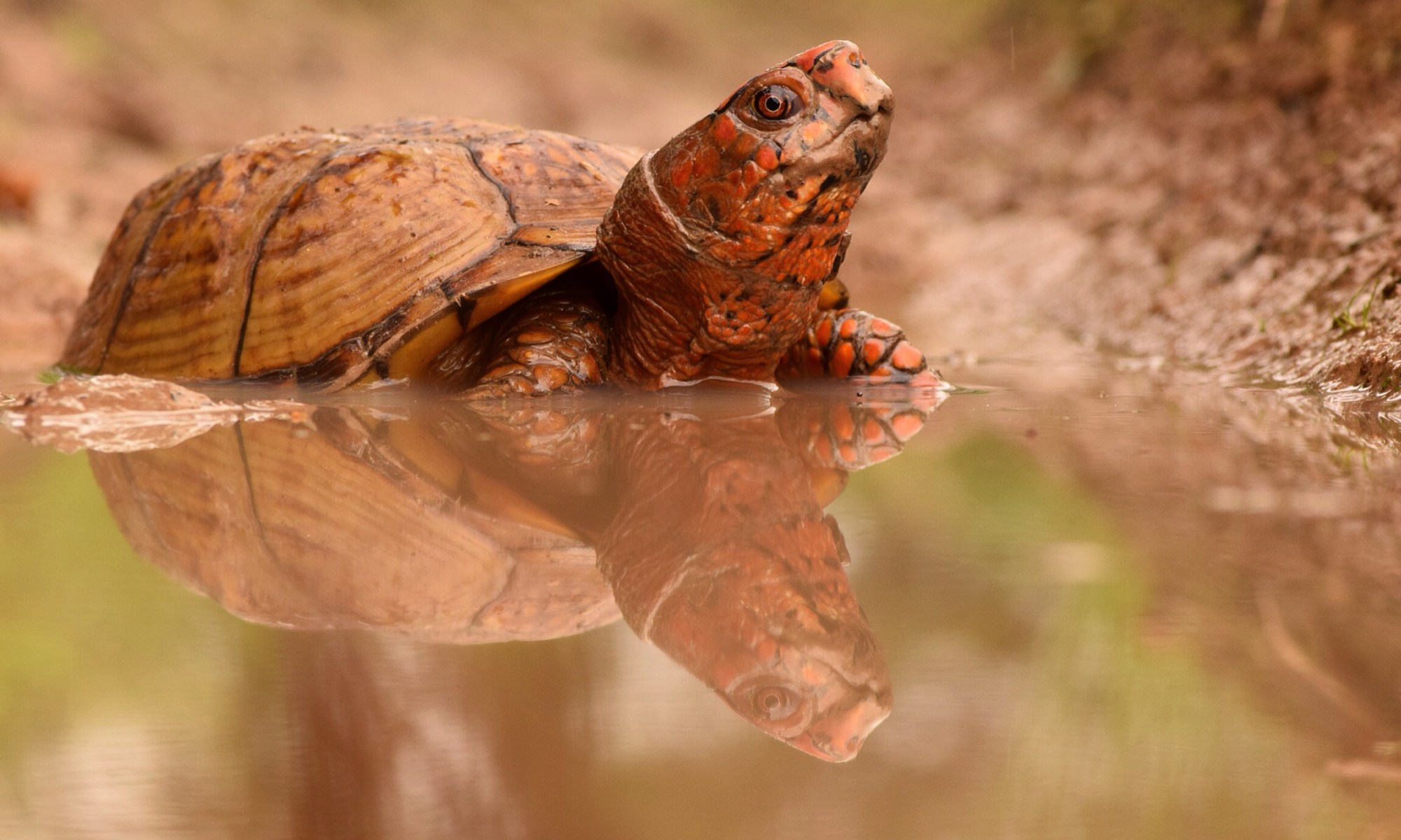 Three-toed Box Turtle photo by Justin Sokol