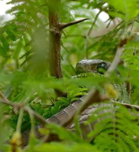 Boomslang photo by Bernard Dupont