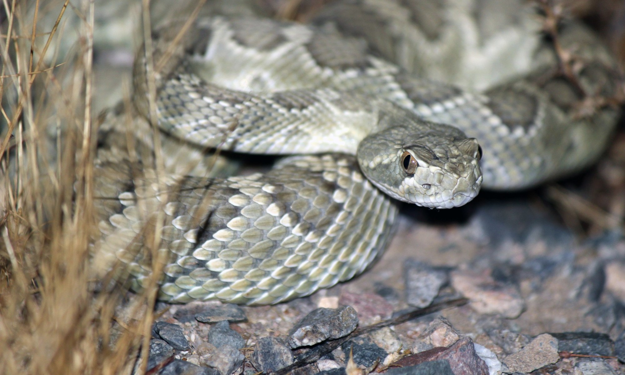 Mohave Rattlesnake photo by Kameron Orr