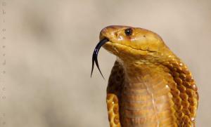 Cape Cobra photo by Bionerds