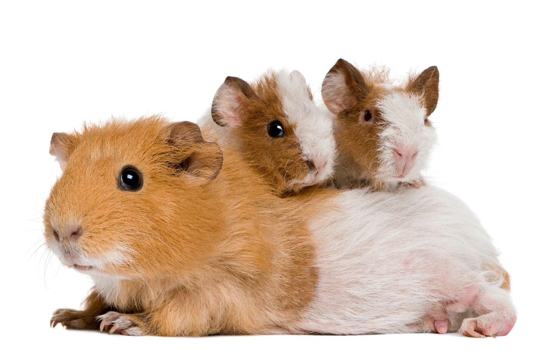 Guinea Pigs As Pets
