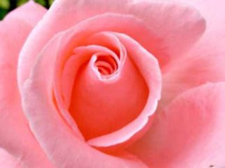 how to make rosewater for cooking