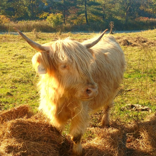 Elspeth, the Highlander Cow