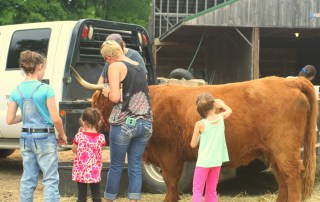 Brushing a Cow