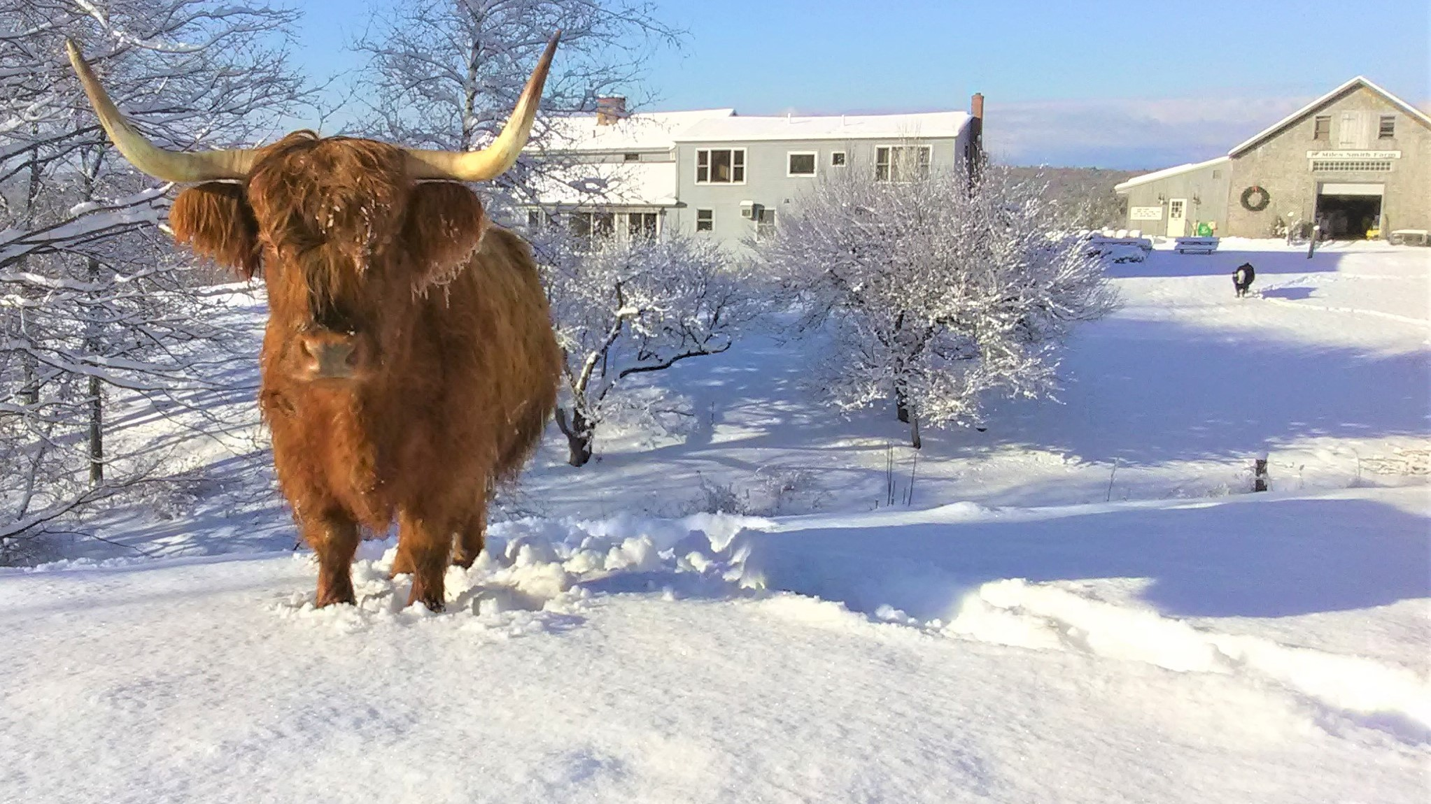 Cow in Snow at Miles Smith Farm