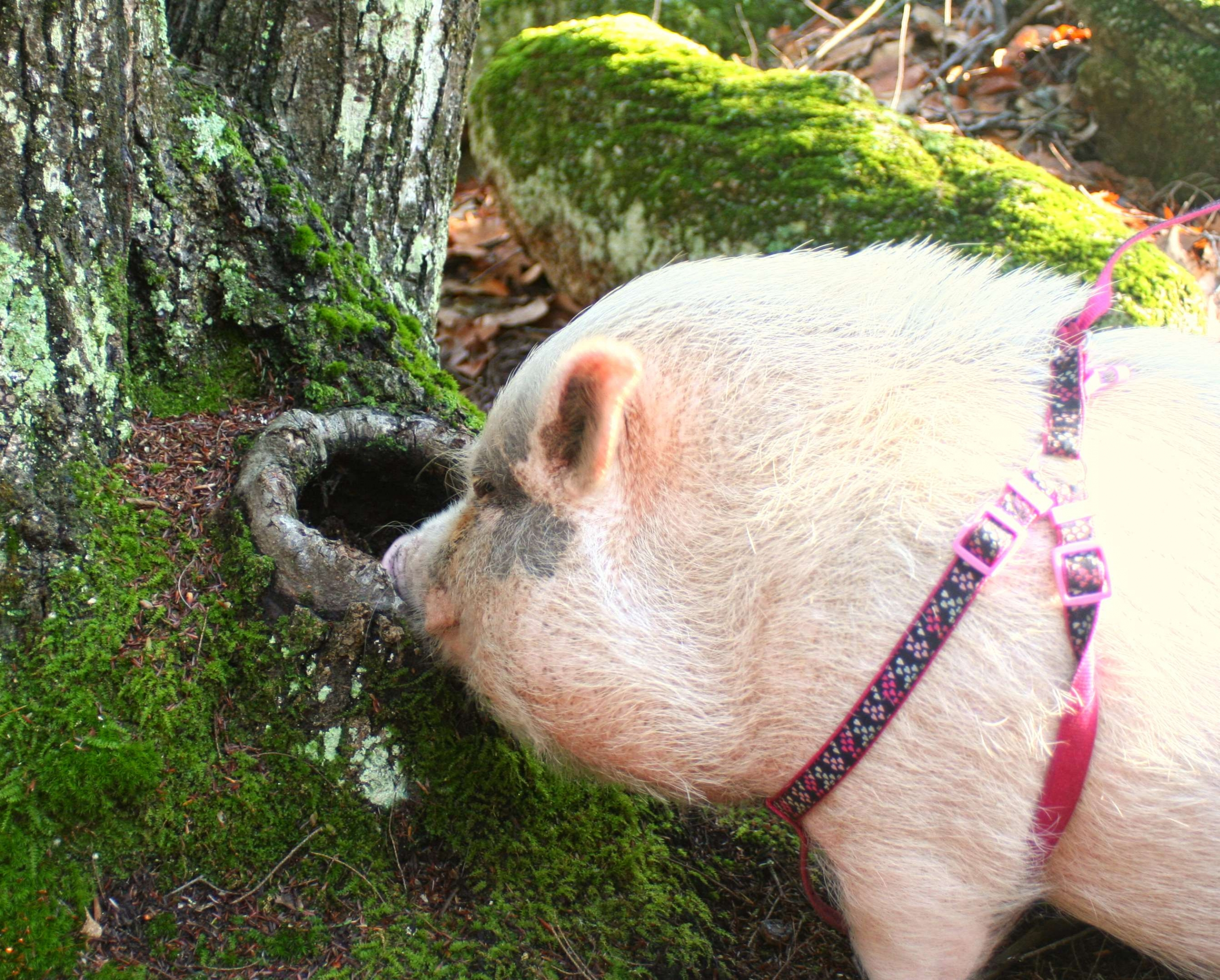 Mini-pig Tazzy D. Moo will dress as a groundhog on Feb 1. Who needs Punxsutawney Phil when a New Hampshire pig can do the job? Visit her from 11 a.m. to 3 p.m. at Miles Smith Farm in Loudon.