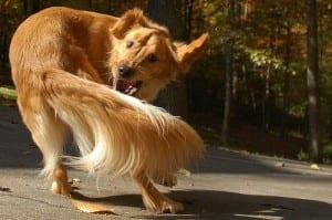 chasing-tail