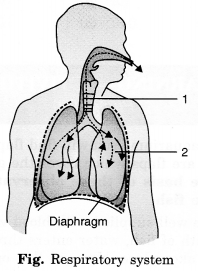 MCQ Questions for Class 7 Science Chapter 10 Respiration in Organisms with Answers 1