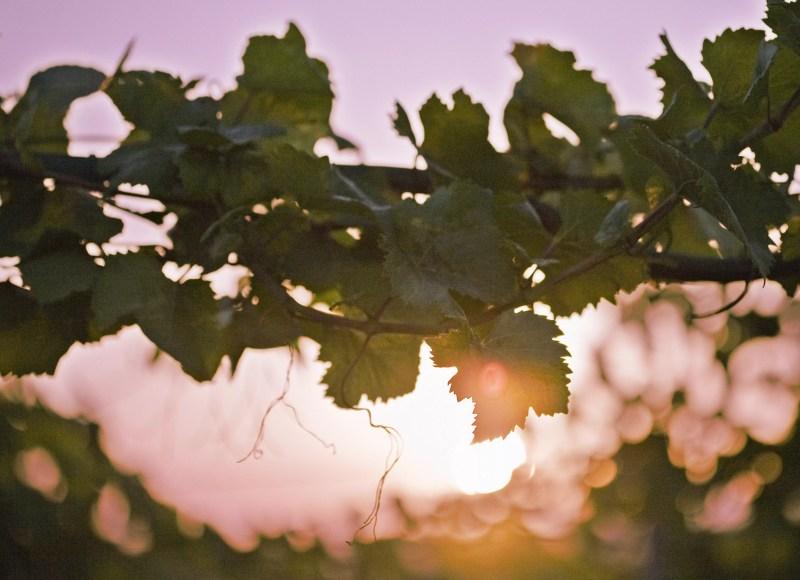 Vignes vrilles au coucher du soleil, gros plan