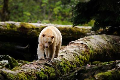 Spirit Bear Trapeze