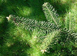 Zweige einer Balsamtanne