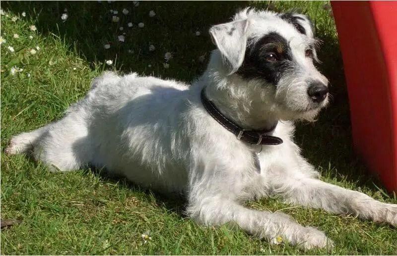 Parson Russell Terrier Caractre Ducation Et Conseils