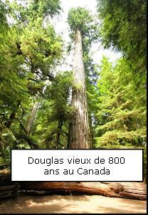 Douglas ou Pin d'Oregon - Un peu d'histoire - Douglas2