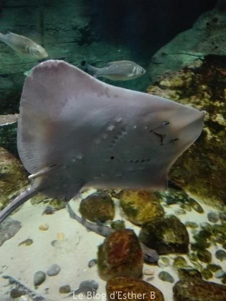 aquarium_paris_raie