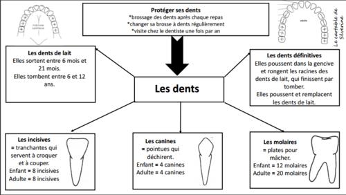 Carte mentale : les dents