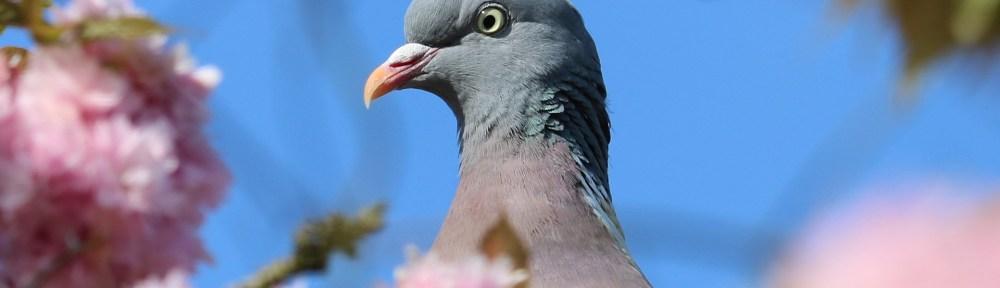 improbable pigeon